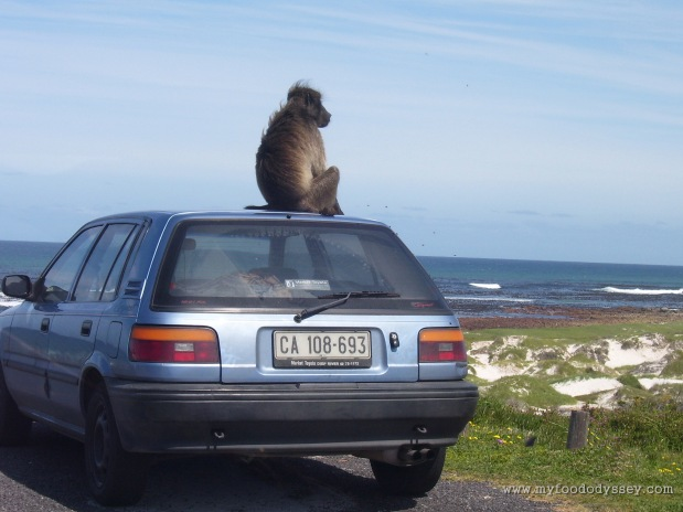 This is not what you expect to see when you come back to your car. Cape of Good Hope, South Africa, September 2007.