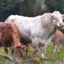 Charolais bull, Ireland | www.myfoododyssey.com