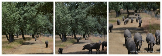 Pigs come running from their hidding place in the dehesa at Armando's call.