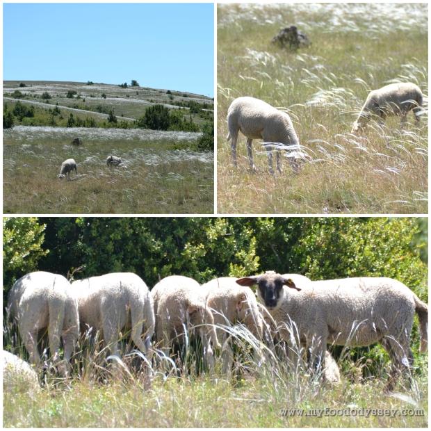 Sheep3-1