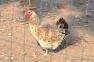 Mottled Hen | www.myfoododyssey.com