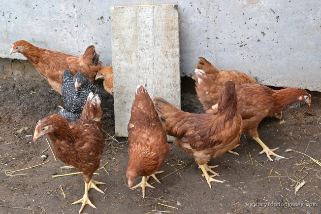 Pullet Hens | www.myfoododyssey,com