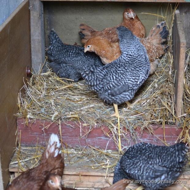 Chickens in nesting box | www.myfoododyssey,com