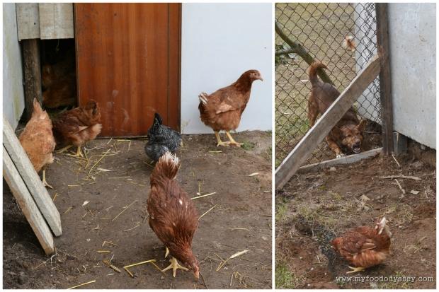 Chickens | www.myfoododyssey.com