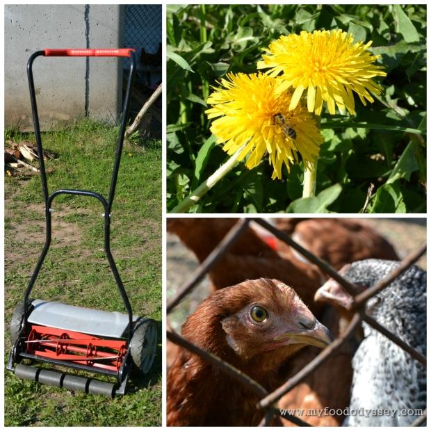 Dandelions & Hens | www.myfoododyssey.com