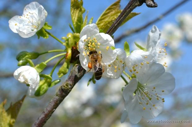 Apple Blossom & Bee | www.myfoododyssey.com