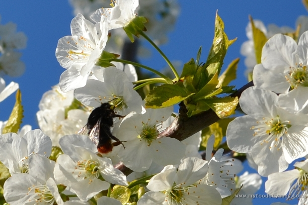 Bumble Bee in Fruit Blossoms | www.myfoododyssey.com