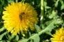 Dandelion & Bee | www.myfoododyssey.com