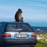 Baboon on car, South Africa | www.myfoododyssey.com