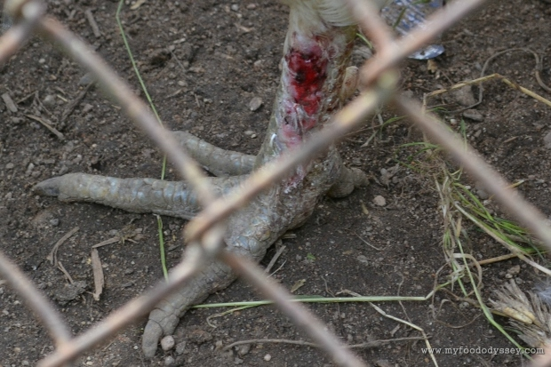 Rooster Leg Laceration | www.myfoododyssey,com