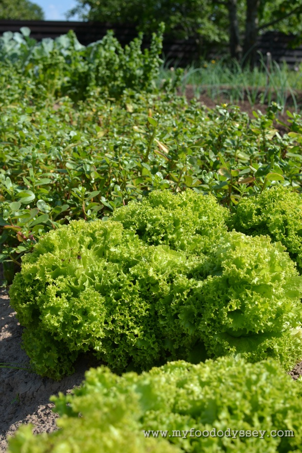 Growing Vegetables | www.myfoododyssey.com