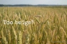 Wheat Field, Lithuania   www.myfoododyssey.com