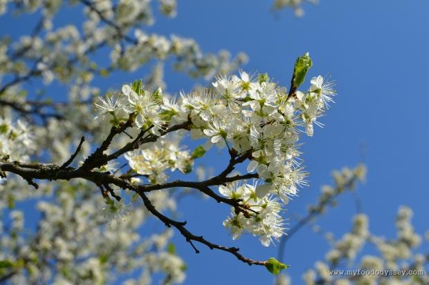 Apple Blossom | www.myfoododyssey.com