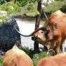Long-horned Cow   www.myfoododyssey.com