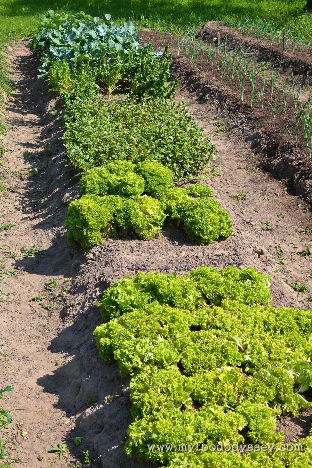 Planting Vegetables & Herbs | www.myfoododyssey.com