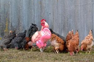 Pink Cock | www.myfoododyssey.com