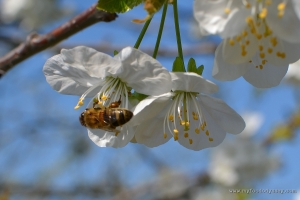 Honey Bee in Fruit Tree | www.myfoododyssey.com