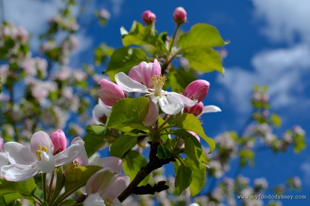 Apple Blossoms | www.myfoododyssey.com