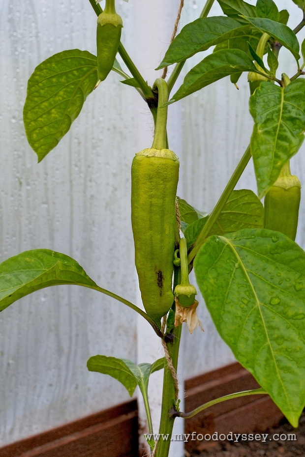 First Bell Pepper | www.myfoododyssey.com