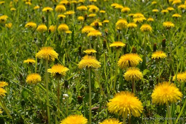 Dandelions | www.myfoododyssey.com
