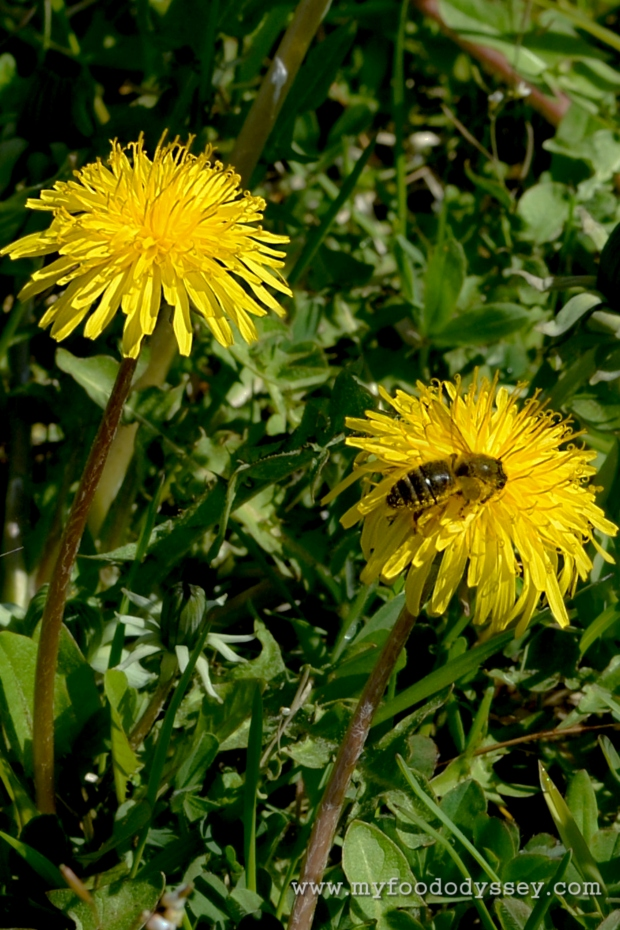 Dandelions and Bees | www.myfoododyssey.com