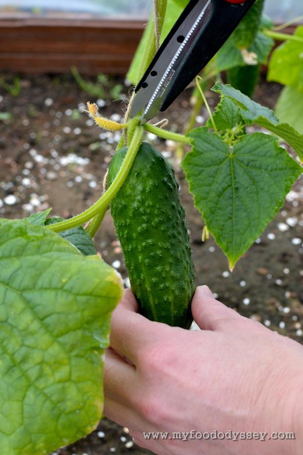 First Cucumber | www.myfoododyssey.com