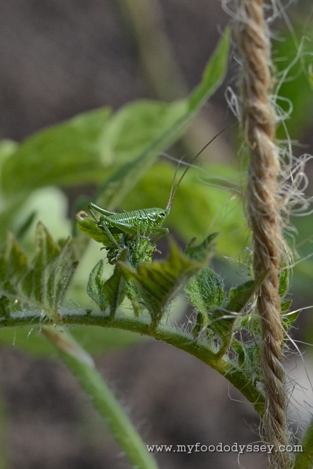 A nymph cricket on my tomato plants | www.myfoododyssey.com