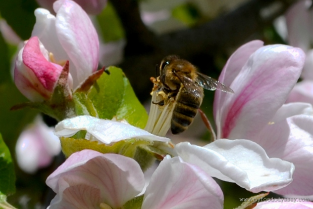 Bee in Apple Blossom | www.myfoododyssey.com