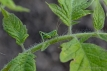 A nymph grasshopper on my tomato plants | www.myfoododyssey.com