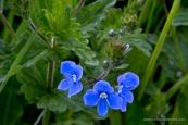 Blue Wildflowers | www.myfoododyssey.com