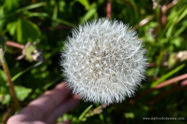 Dandelion Seed Head | www.myfoododyssey.com