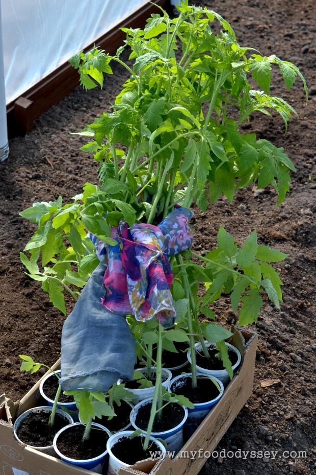 Tomato Plants| www.myfoododyssey.com
