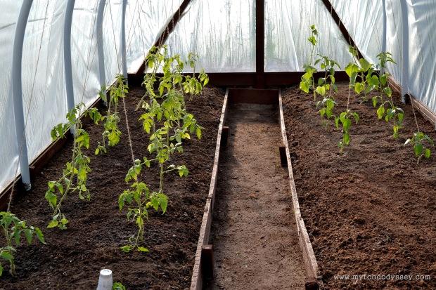 Tomato, Cucumber & Pepper Plants | www.myfoododyssey.com
