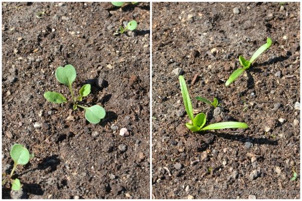Spinach & Rocket Seedlings | www.myfoododyssey.com