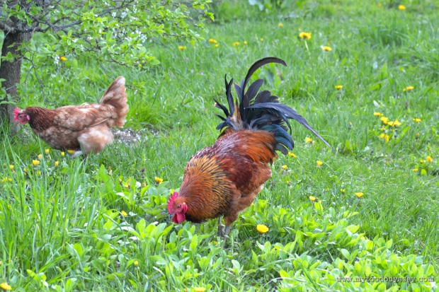Rooster | www.myfoododyssey.com