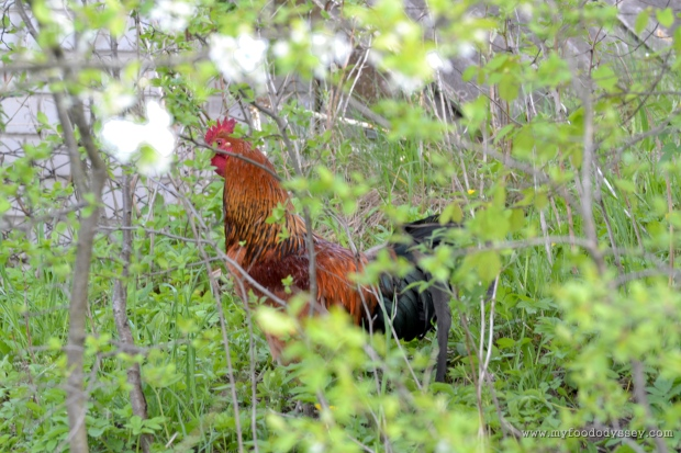 Rooster Hiding | www.myfoododyssey.com
