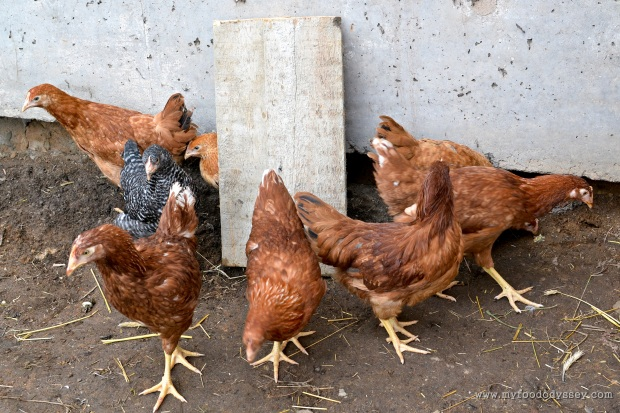 Pullet Hens | www.myfoododyssey.com