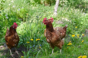 Hens | www.myfoododyssey.com
