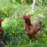 Hens | www.myfoododyssey.com