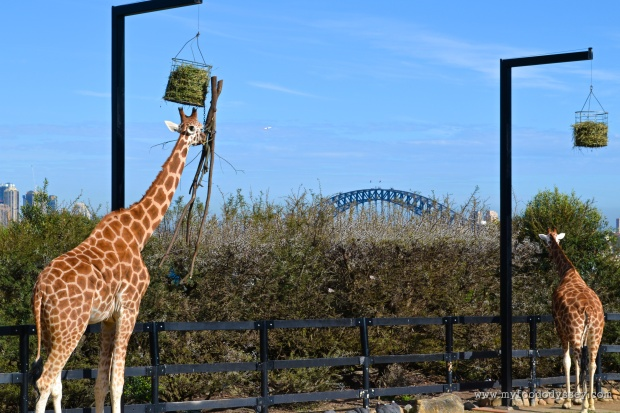 Giraffes at Taronga Zoo, Sydney | www.myfoododyssey.com