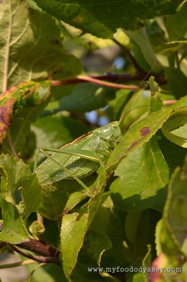 Great Green Bush-Cricket | www.myfoododyssey.com