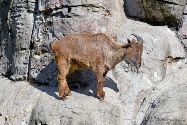 Himalayan Tahr at Taronga Zoo, Sydney | www.myfoododyssey.com