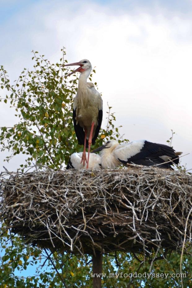 Storks Nesting, Lithuania | www.myfoododyssey.com