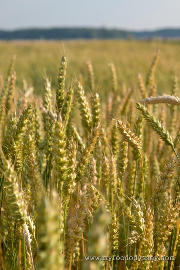 Wheat Field   www.myfoododyssey.com