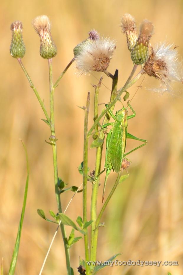 Great Green Bush-Cricket   www.myfoododyssey.com
