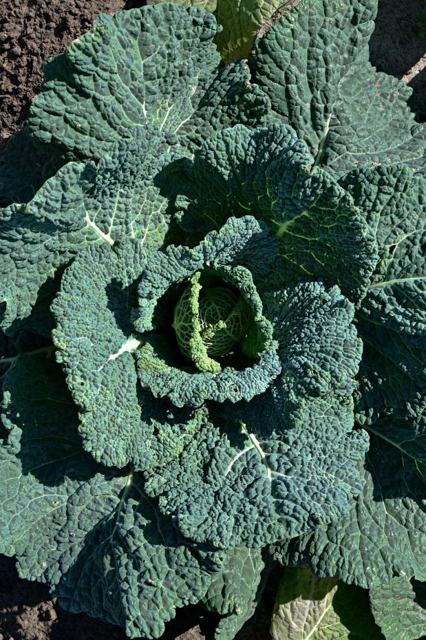 Green Cabbage Head | www.myfoododyssey.com