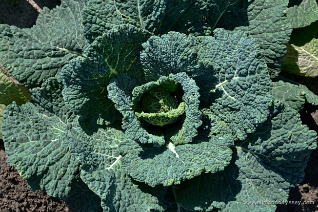 Green Cabbage Head | www.myfoododyssey.com