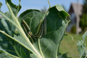 Cabbage Caterpillars | www.myfoododyssey.com