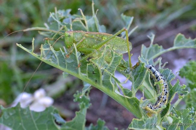 Cricket (Tettigonia Viridissima) & Caterpillar   www.myfoododyssey.com