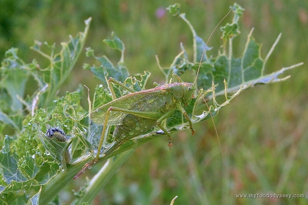 Cricket (Tettigonia Viridissima) & Caterpillar | www.myfoododyssey.com